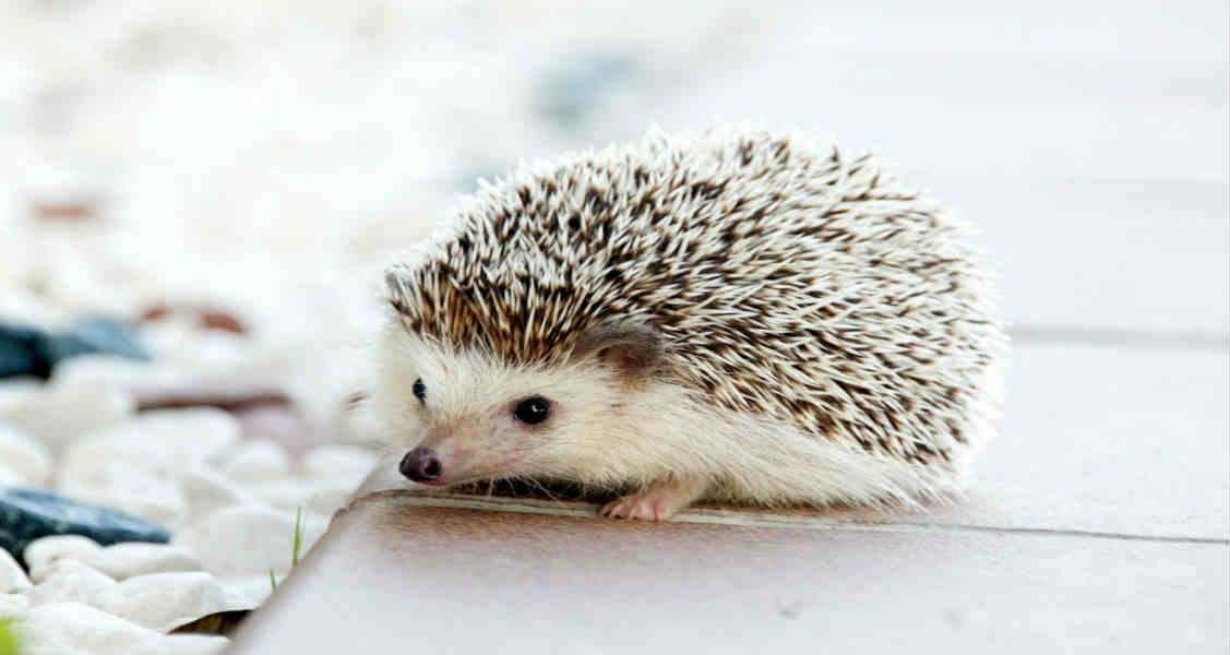 Everything You Need to Know About African Pygmy Hedgehog Care