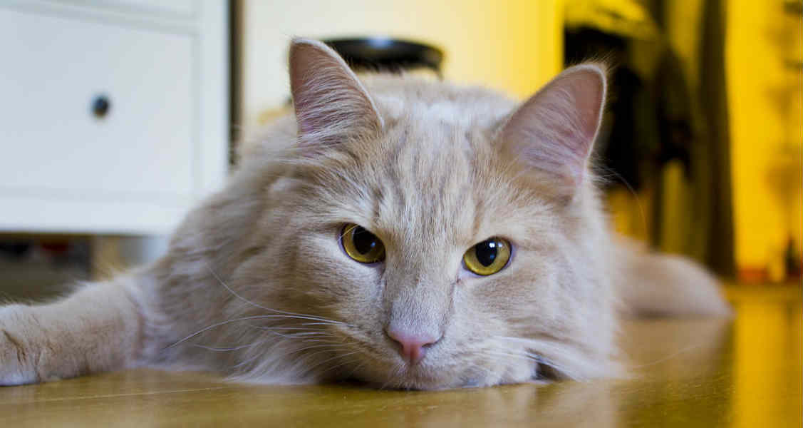 Hairballs in Cats and Dogs: Prevention and Home Remedies
