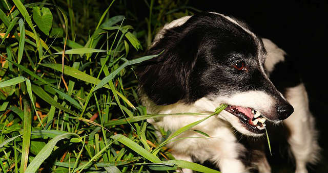 Why is my dog eating grass all of a sudden?