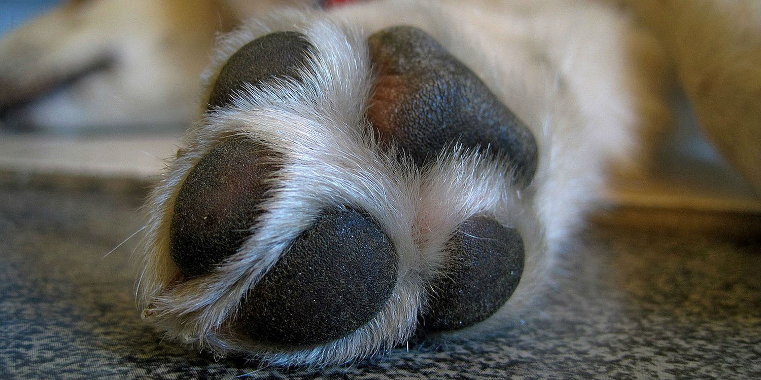 I think my dog has a yeast infection on his paws. What is the treatment?