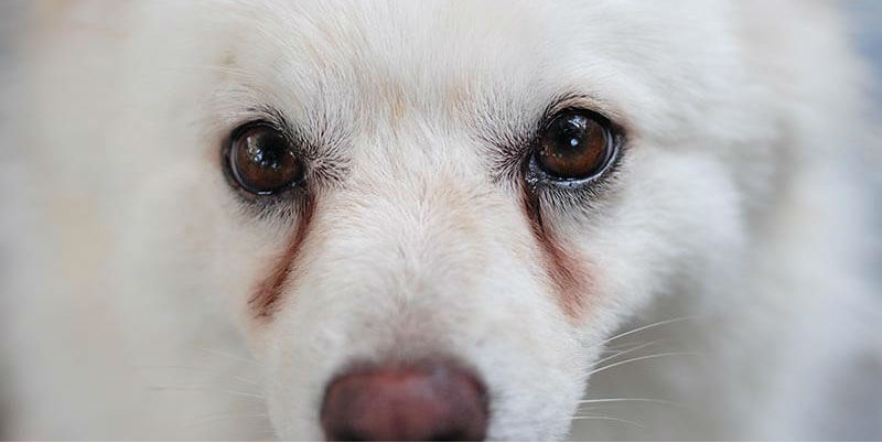 How do I remove my dog's tear stains without the use of antibiotics?