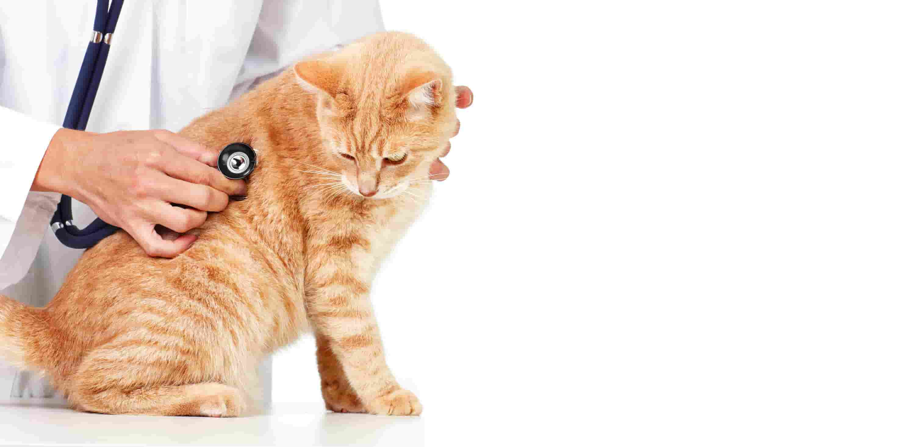 How serious are heart murmurs in cats? How are heart murmurs graded?