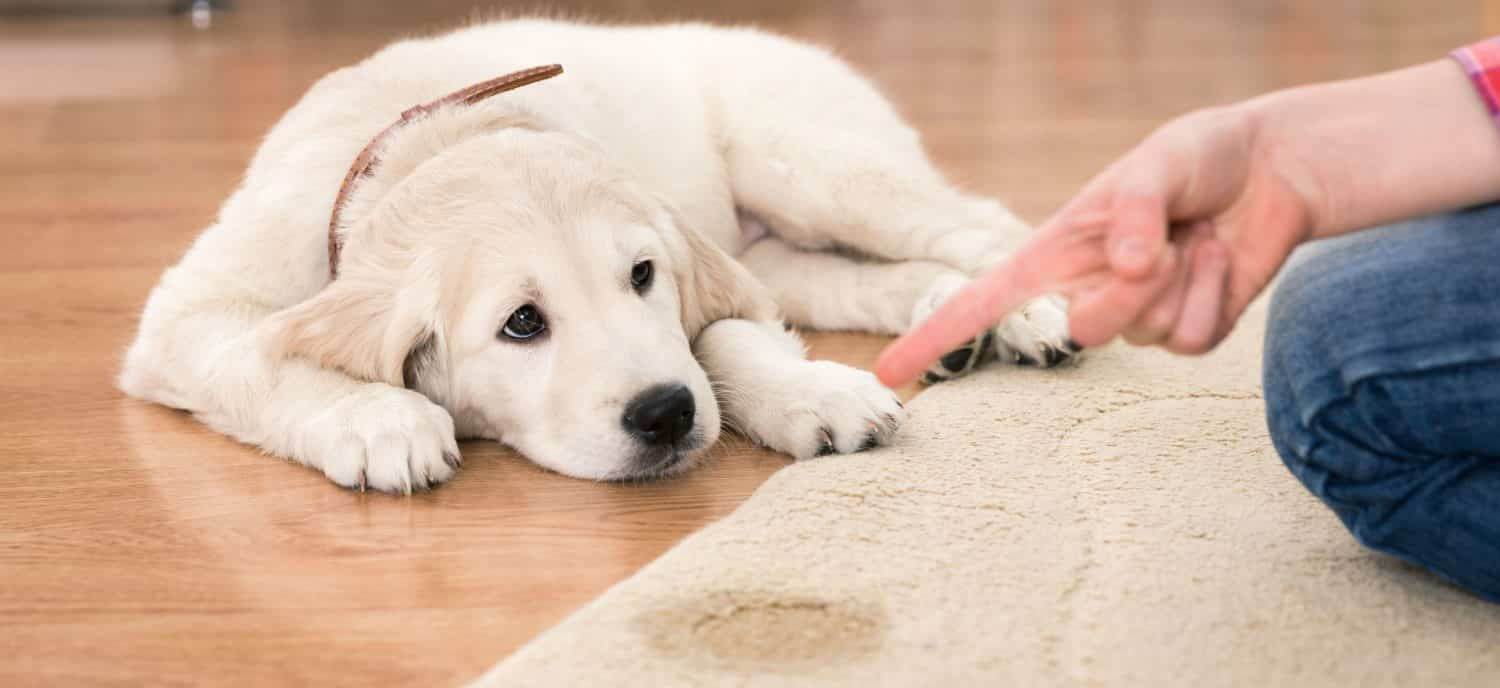 Why is my dog leaking urine when lying down? What causes dogs to shake their heads?