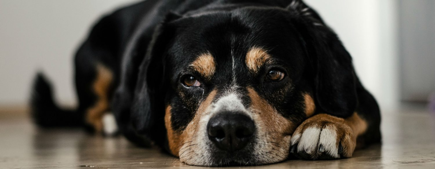 What steps should be taken to treat a large dog's hind leg injury? If the diagnosis is arthritis, what are some things that can be done to improve the condition?