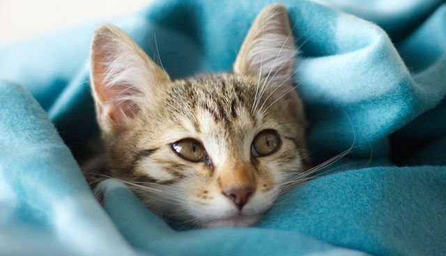 What should I know about histiocytic sarcoma in cats?