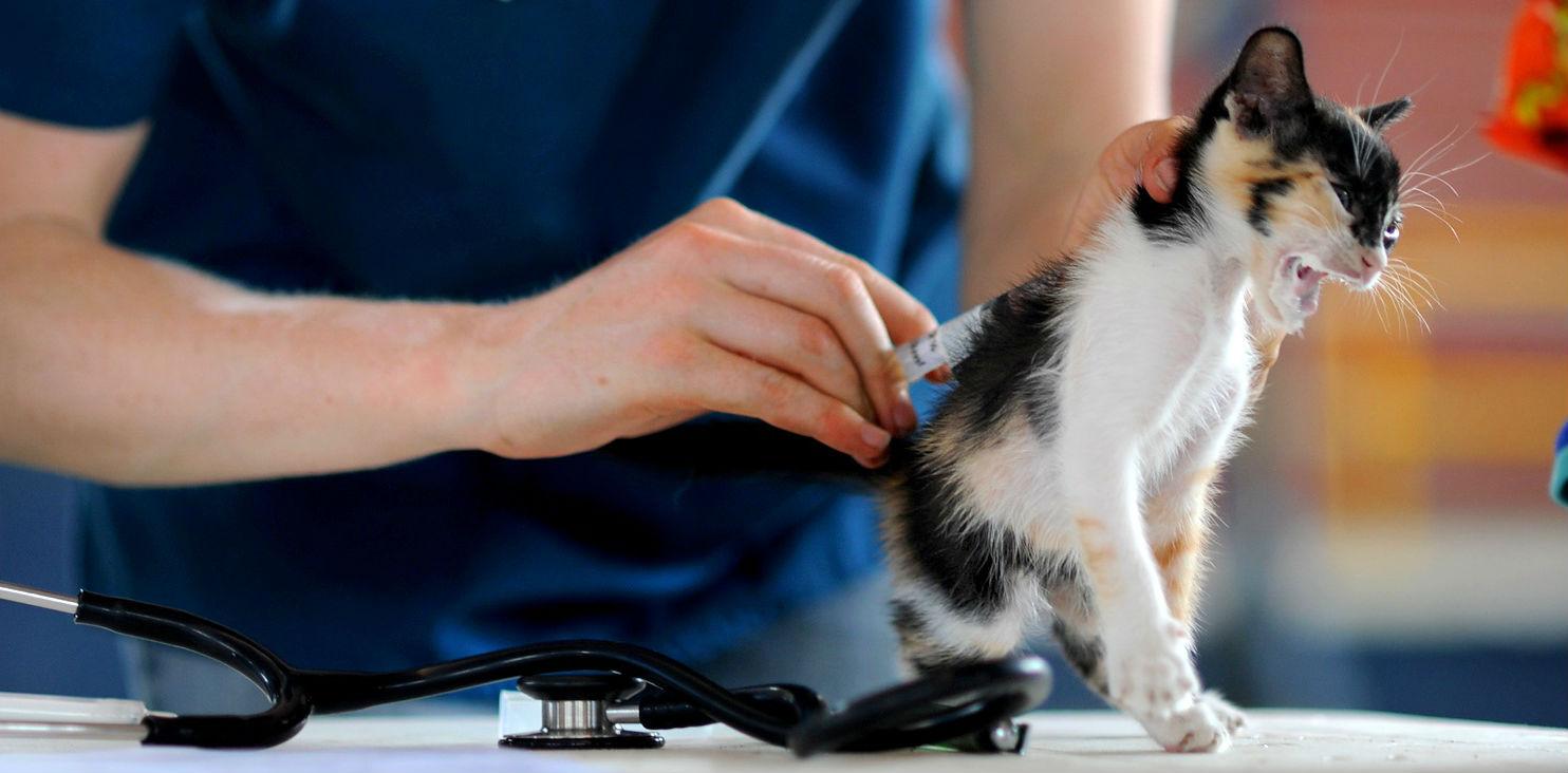 What core vaccines do indoor cats need?