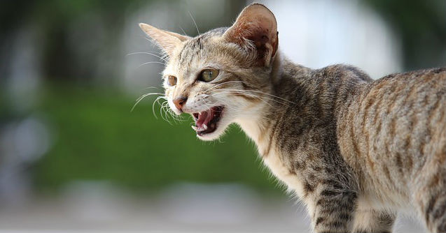 Why is my cat meowing so much?