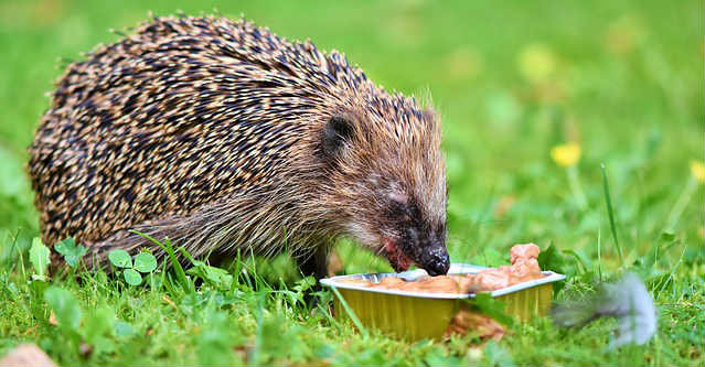 How much should a hedgehog eat in terms of calories?