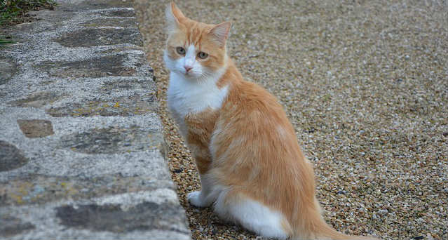 Why do neutered male cats hump?