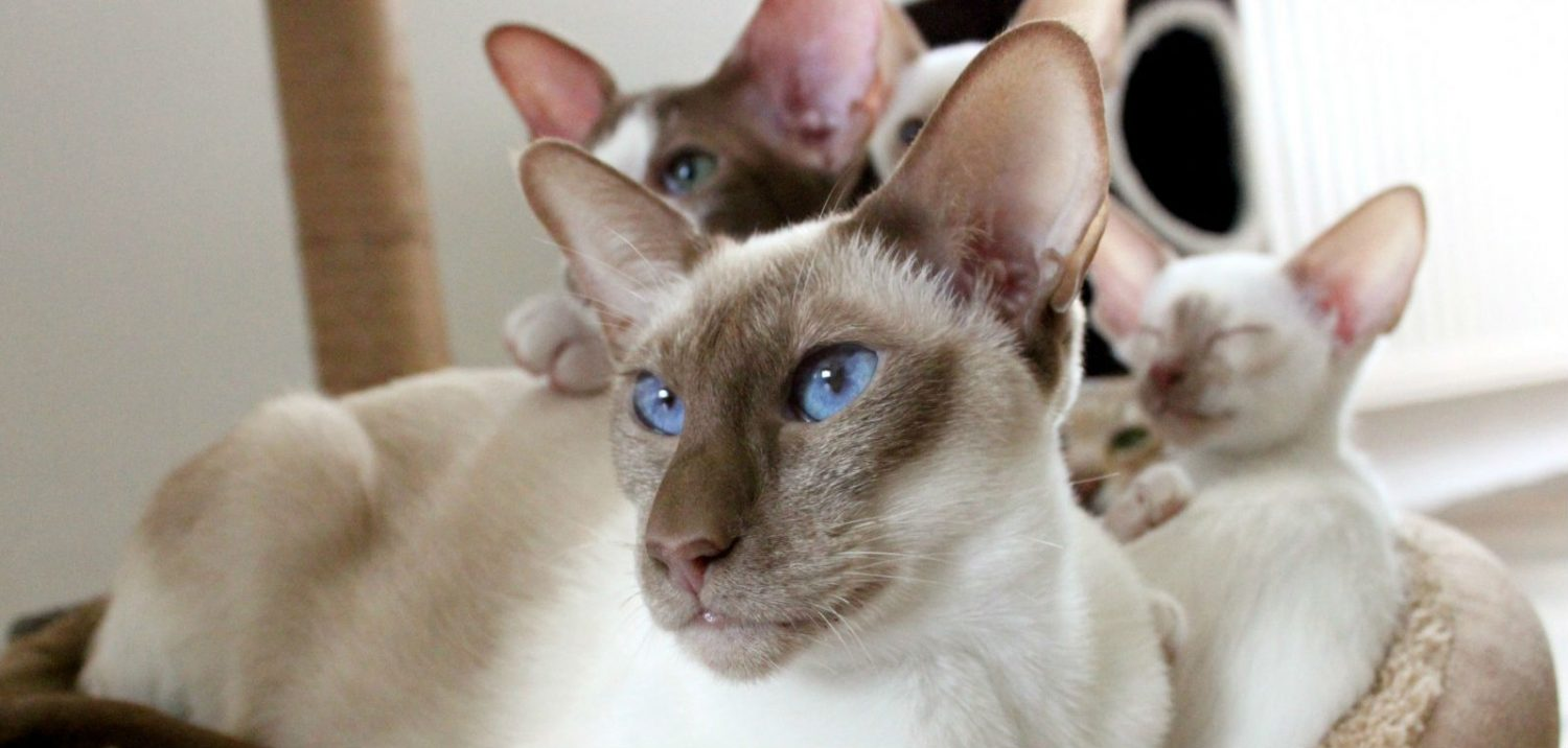 What are the bluish-grey bumps in my cat's ear and how should they be treated?