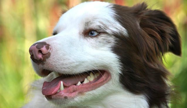 Do retained baby teeth in dogs have to be pulled if they don't fall out?