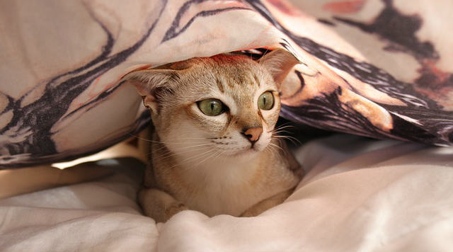 Why does my cat hide under the covers?