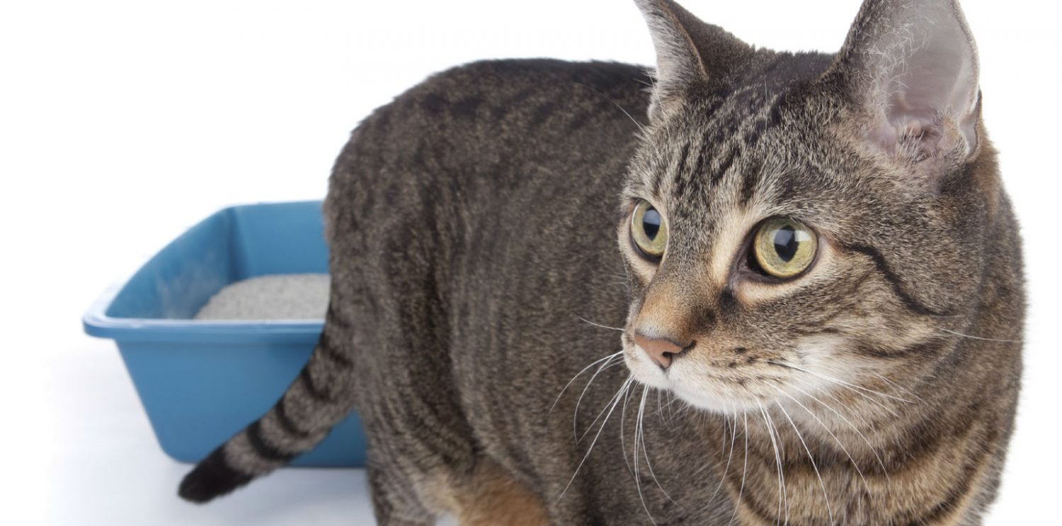 How can I prevent my cat from getting urinary tract infections?