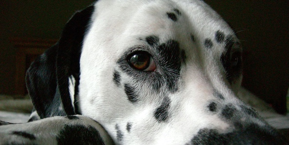 What is a normal thyroid level for a dog?
