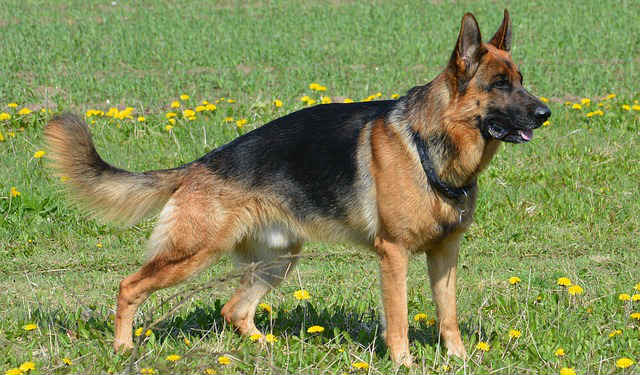 What are typical German Shepherd health issues?