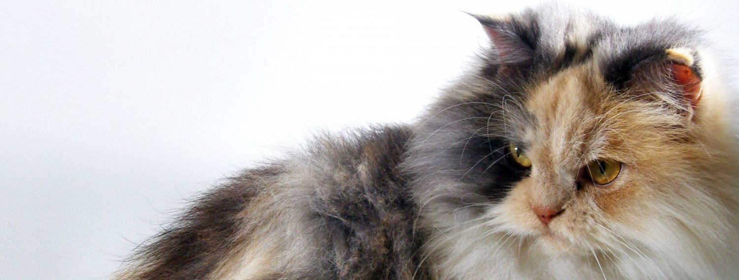 Can a cat be too old for anaesthesia?