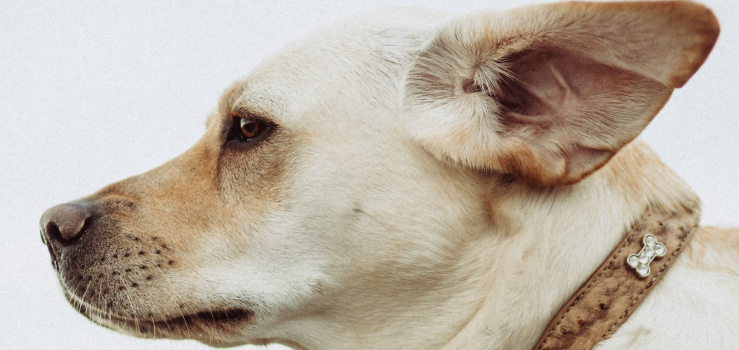 How can we stop the recurrence of a dark brown discharge in our dog's ears and is a sign of an infection?