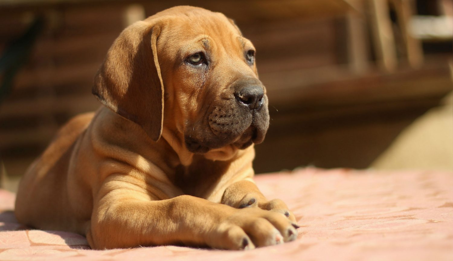 Does yellow-white discharge in my puppy's urine indicate juvenile vaginitis and if so, what should I do?