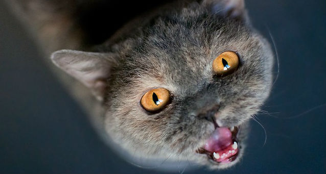 Why do cats yowl at night?