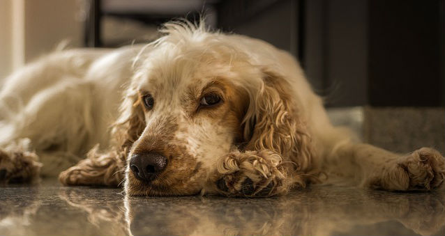 What should I know about diagnosis, medication and stages of canine Cushing's disease?