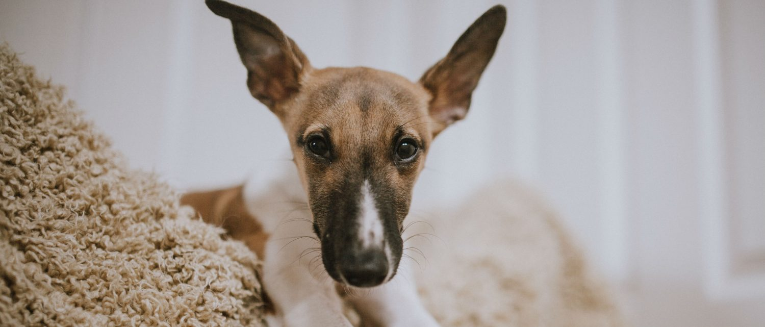 How do you treat a dog's chronic ear infection and why would hypoallergenic food be prescribed to help treat the problem?
