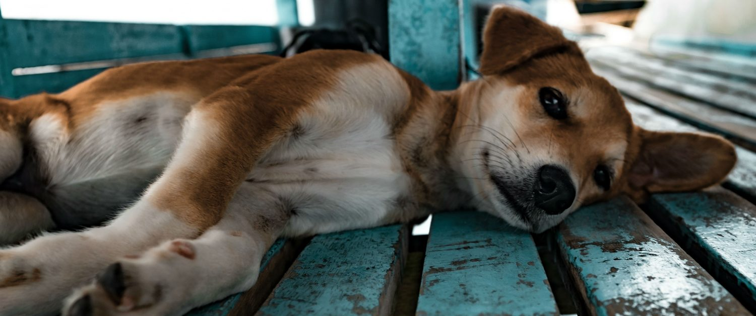 What are some options to manage chronic orthopedic pain in dogs?