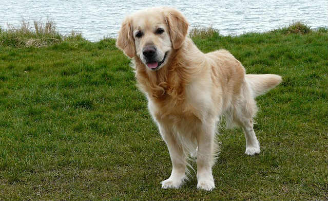 Can taurine deficiency cause dilated cardiomyopathy in Golden Retrievers?