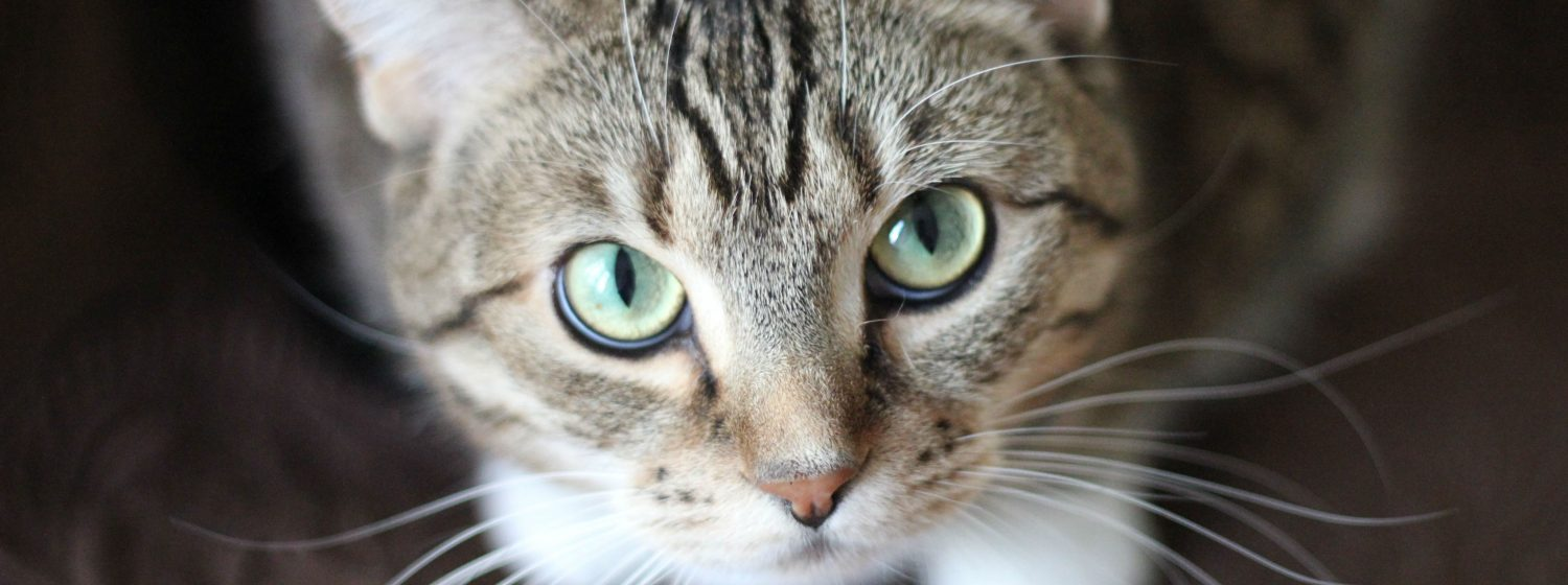 Why are lumps growing above my cat's eye? After trying medications with no improvement, what are our next steps?