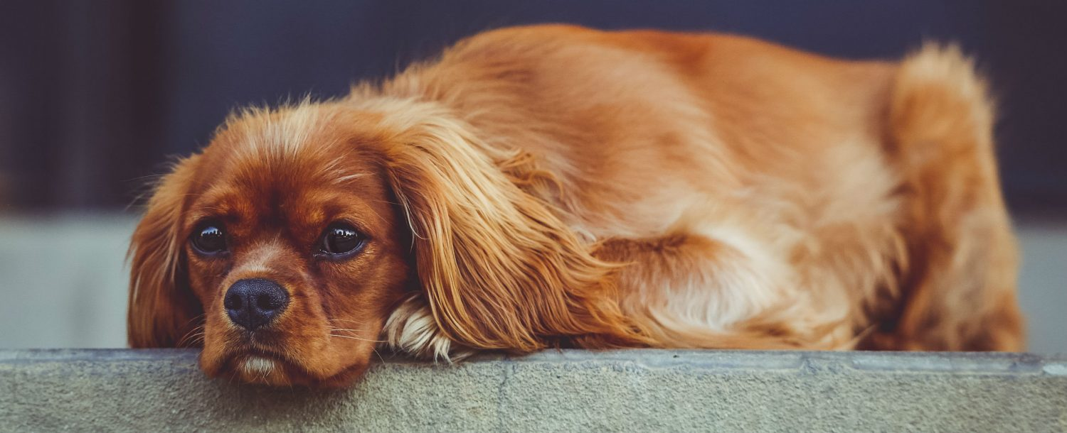What are some treatment options for a dog living with tracheal collapse?