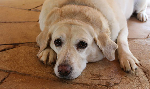 Could a few consecutive high-fat meals cause pancreatitis in dogs?