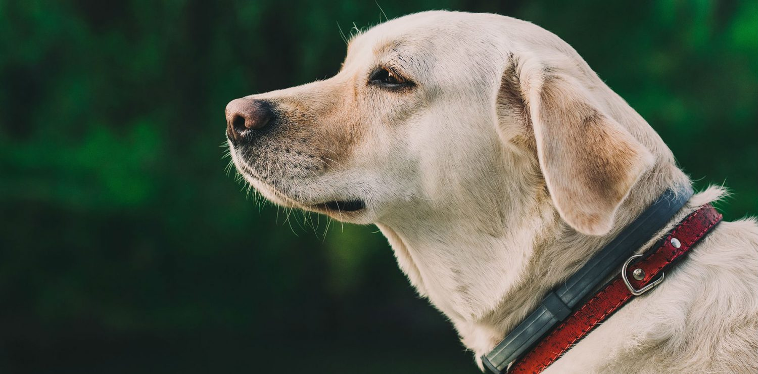 Is it safe to give a dog Tylenol for arthritis?
