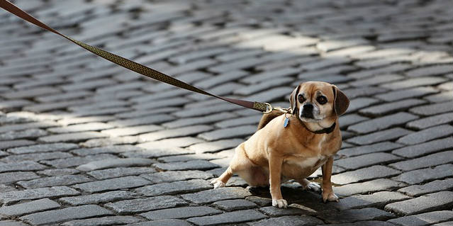 My dog doesn't want to walk. What is the cause and treatment?