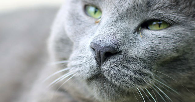 Why aren't antibiotics working for a chronic upper respiratory infection in cats?
