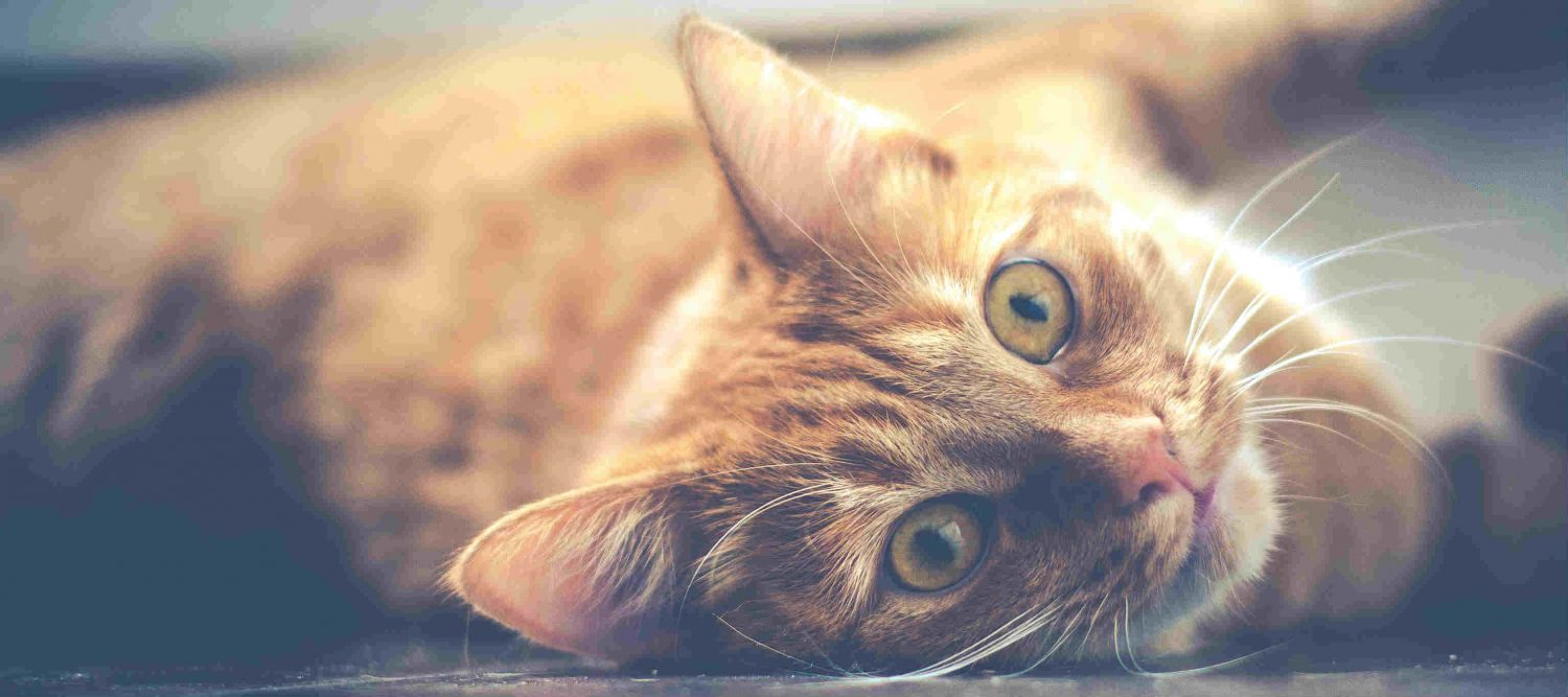 How can I treat parasitic infections in cats (eg. tapeworm) at a low cost?