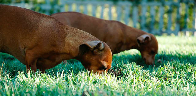 Why is my dog eating grass and vomiting?