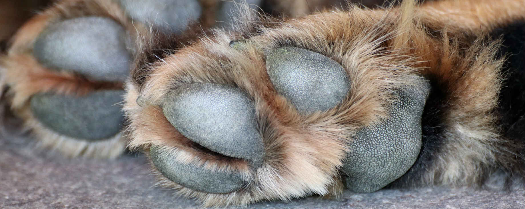 What causes calluses on my dog's hind paws between the toes and heel?