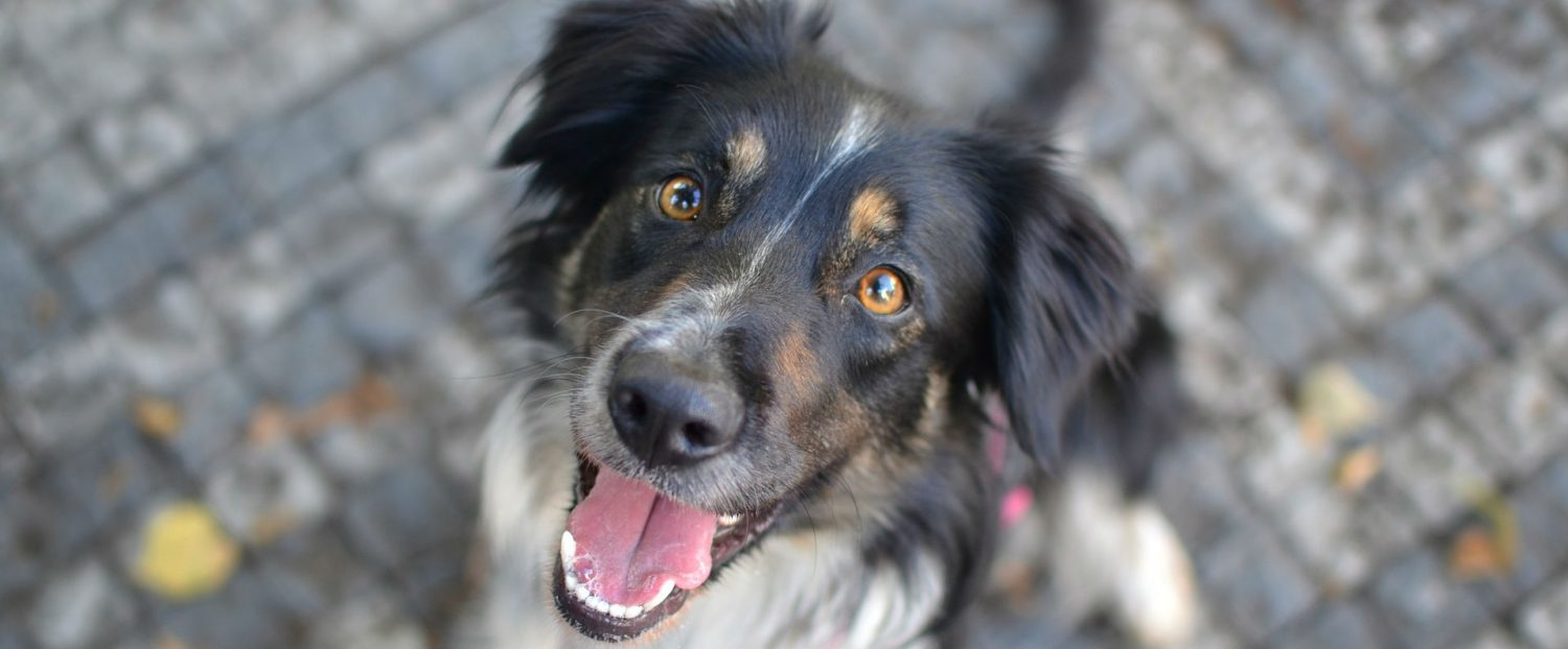 Is there a treatment to slow down the development of cataracts in dogs?