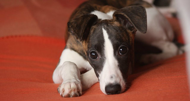 How is Cushing's disease diagnosed in dogs?