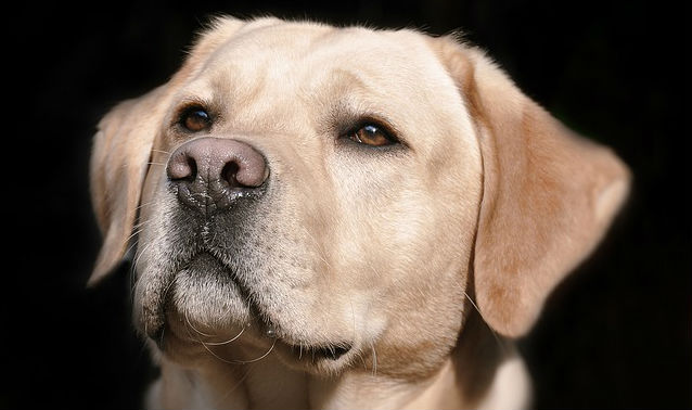How long can a dog live with nasal cancer?