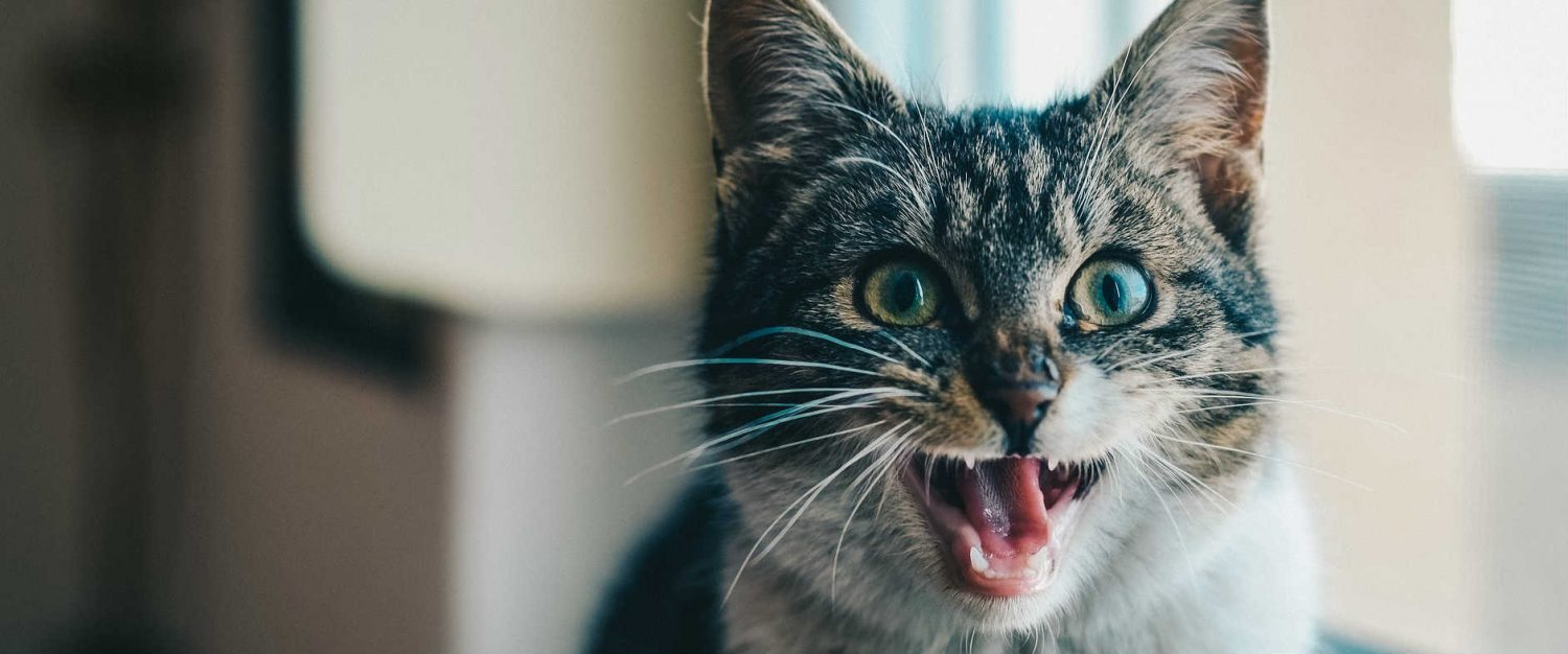 My cat can't get hairballs out and has an increased appetite. What should my next steps be?