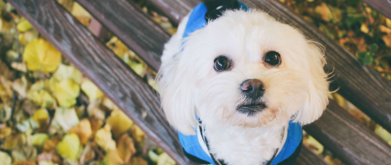 Is gallbladder surgery in dogs needed before surgery for an open pyometra?