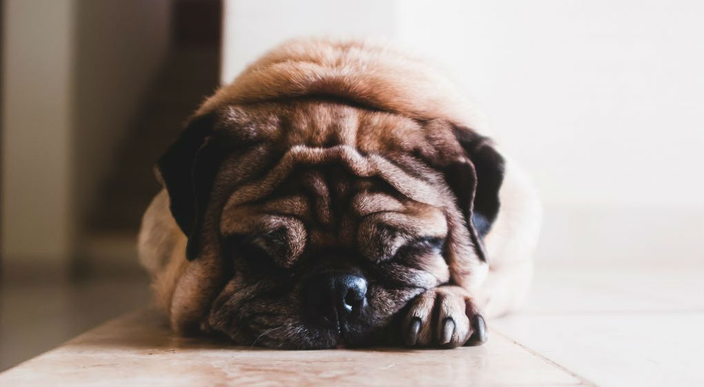Everything You Need to Know About How Dogs Sleep