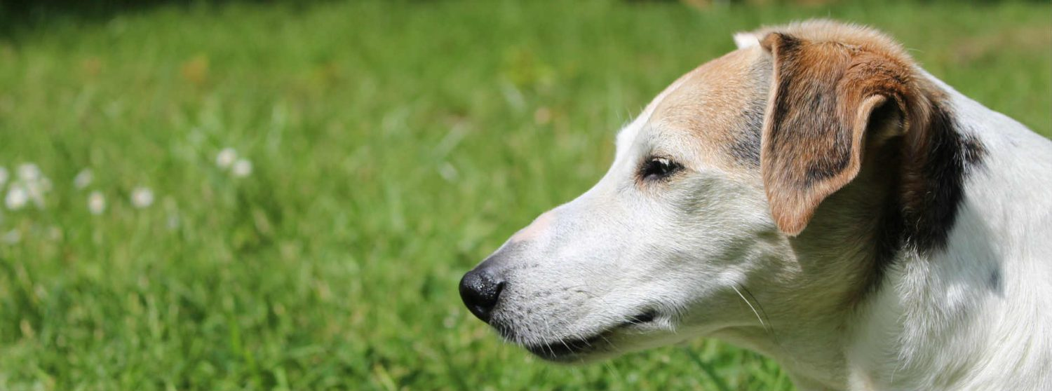 How do I resolve chronic ear infections in dogs?