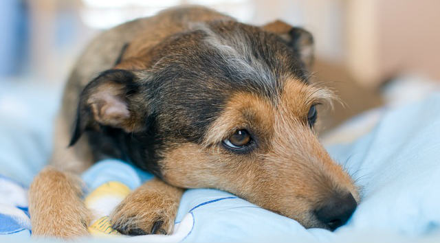 What tests could determine the cause of inflamed bowels and inflamed intestines in dogs?