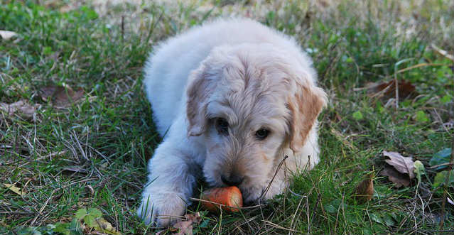 What to feed a dog after it throw up worms