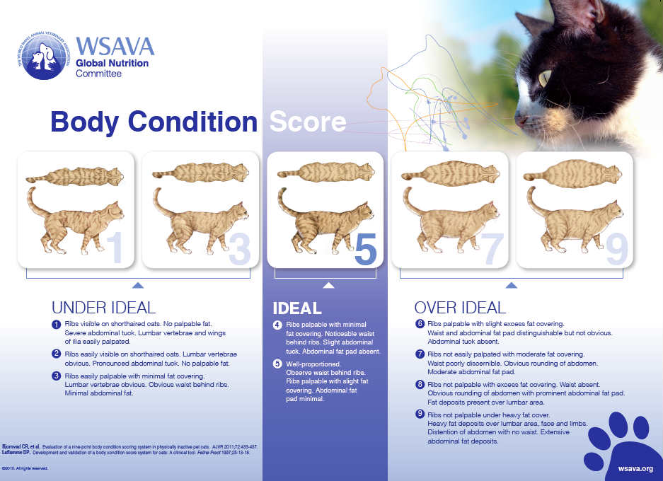 Feline Body Condition Score