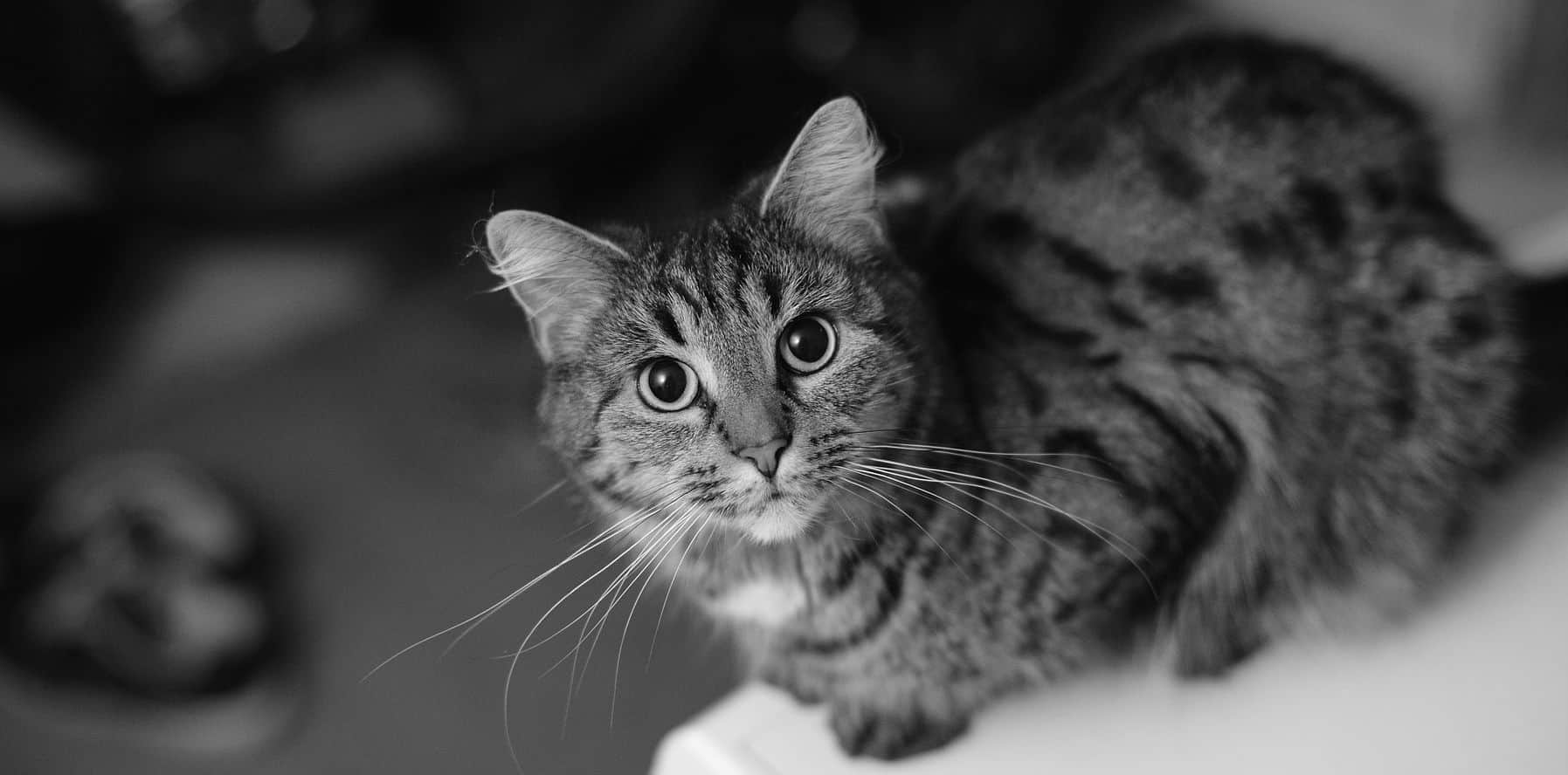 What should I know before adopting an FIV positive cat?