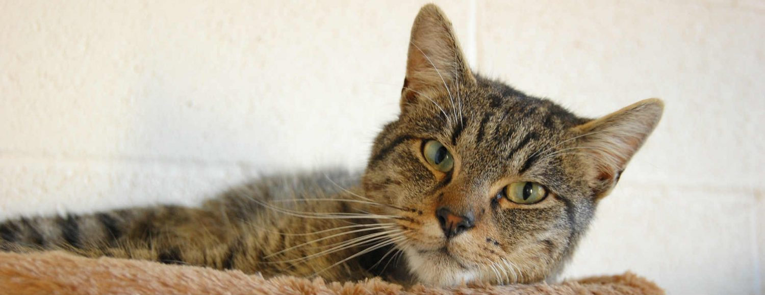 My cat has kidney issues. How does IV fluid therapy for cats work?