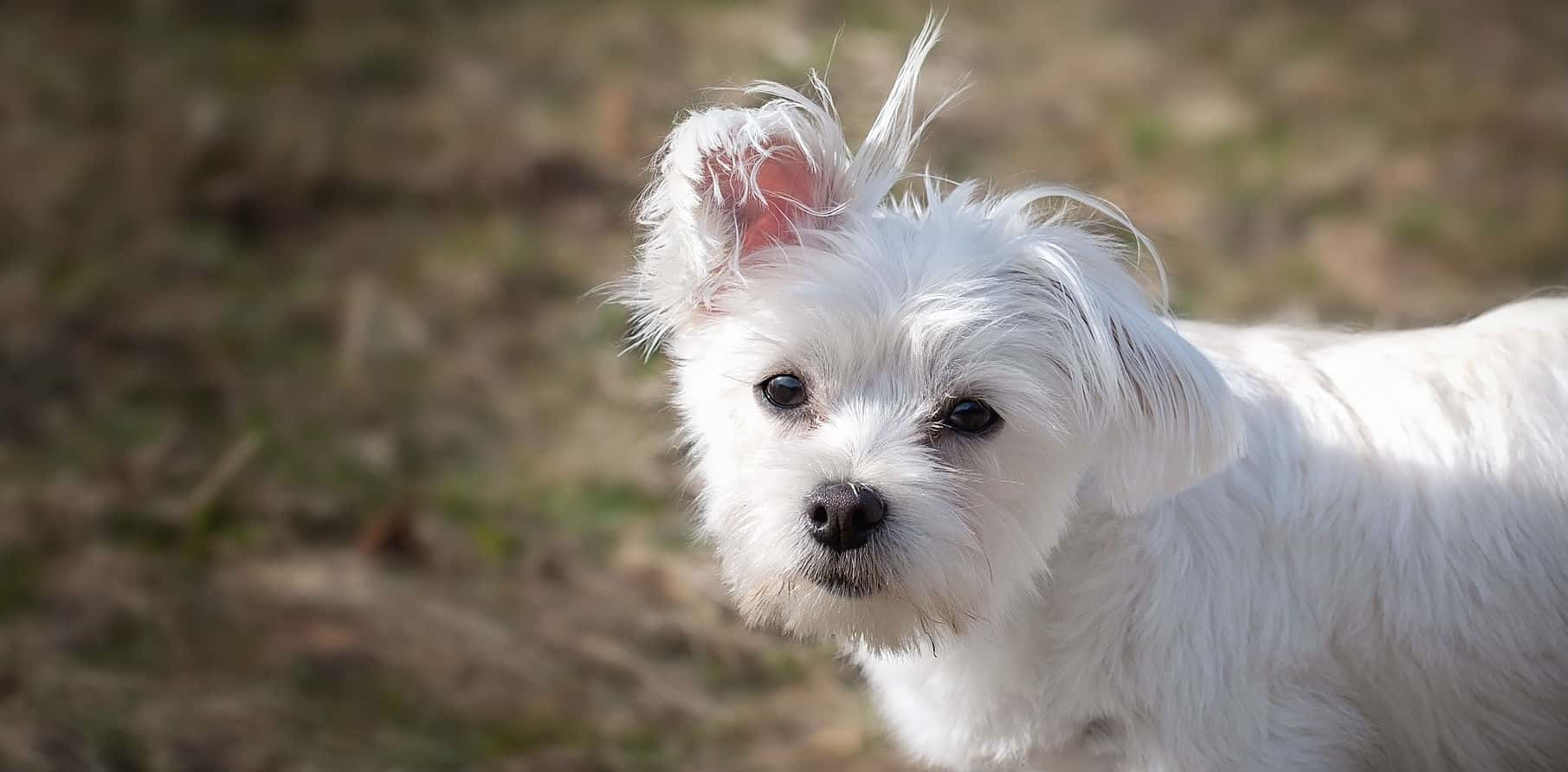 How is white shaker dog syndrome diagnosed?