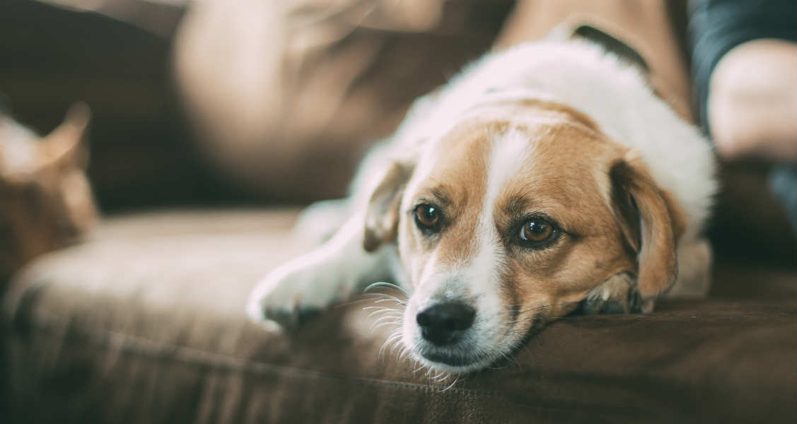 Natural Remedies for Heart Disease in Dogs